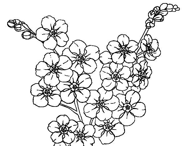 Disegno Di Rosa Con Foglie Da Colorare Acolore Com: Disegno Di Fiore Di Ciliegio Da Colorare