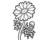 Disegno di Margherita selvaggia da colorare