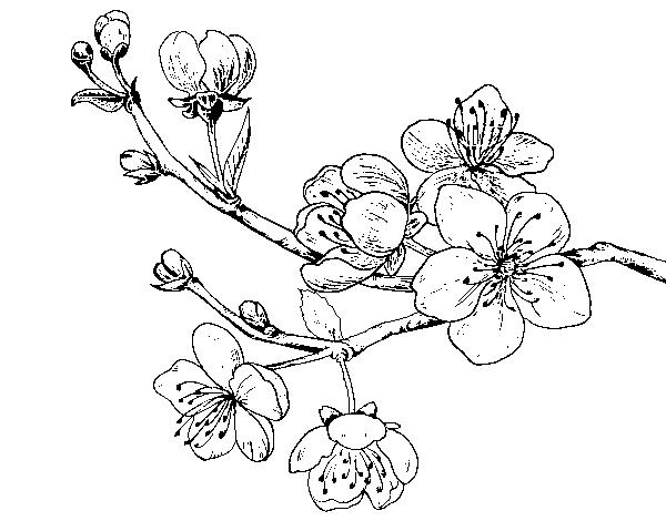 Disegno Di Rosa Con Foglie Da Colorare Acolore Com: Disegno Di Ramo Di Ciliegio Da Colorare